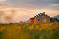 Yellow cottage in field of wildflowers, Gimsøy, Lofoten Islands, Norway