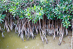 The red mangroves are usually found in estuaries (brackish water)
