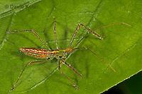 0107-07yy  Assassin Bug nymph. Zelus luridus,  Virginia - © David Kuhn/Dwight Kuhn Photography