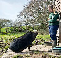 What a porker! – Neville the pig finds new home after five years at rescue centre.
