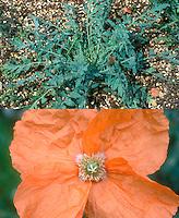 Papaver triniifolium, rosettes and orange flowers, composite picture