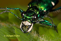 1C35-573z Six-spotted Green Tiger Beetle close-up of face, compound eyes, and jaws, Cicindela sexguttata