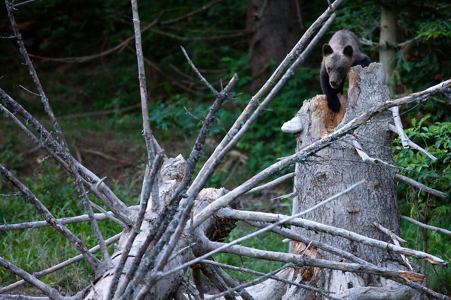 Brown Bear (Ursus arctos) cub on a dead spruce tree. Bieszczady National Park, Poland
