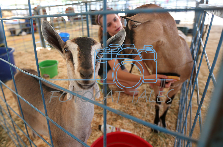 Julia Wideman, 14, cares for her goats Cathy and Eve during the NV150 Fair at Fuji Park, in Carson City, Nev., on Friday, Aug. 1, 2014.<br /> Photo by Cathleen Allison