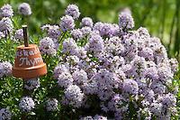Kaskaden-Thymian, Aromatischer Kaskadenthymian, Langstängeliger Thymian, Thymus longicaulis ssp. odoratus, pine scented thyme