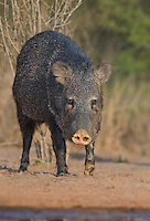 650520261 a wild javelina or collared peccary on santa clara ranch hidalgo county rio grande valley texas united states