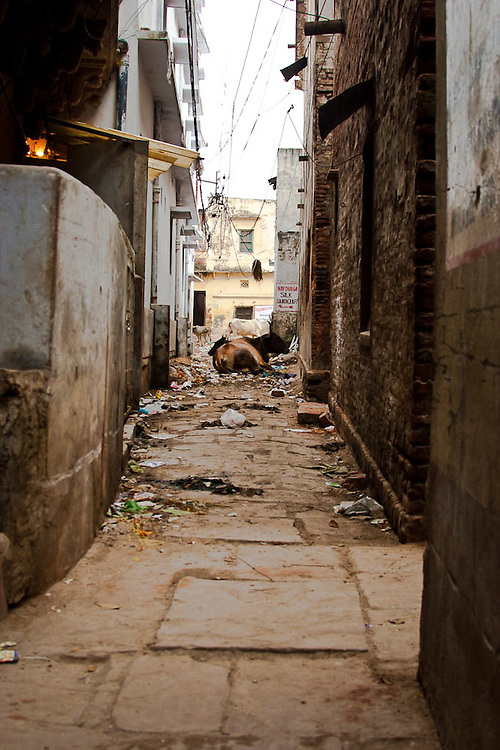 Narrow street, entrance to a hotel, where another of India's sacred cows dwells in the garbage that in many instances end up killing this holly animals.