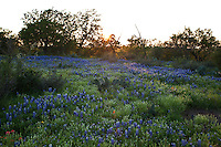 Sunset falls on a pasture of Texas Bluebonnets in the Texas Hill Country, Llano County, Texas, USA