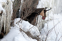 Gamsbock - Chamois Buck