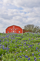 Another vertical capture of this Red Barn in Brenham Texas with bluebonnets field off of Chappel Hill road. The sky was a bit moody so we thought it would be worth an attempt to capture a wildflower scene. We captured this red barn with this field of bluebonnets in front. In any case it was still a good capture of Texas wildflowers for the day. Bluebonnets are alway a plus when you can find a good field like this in spring.