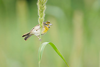 Dickcissel (Spiza americana), male on Manchurian wild rice (Zizania latifolia), Port Aransas, Mustang Island, Coastal Bend, Texas Coast, USA