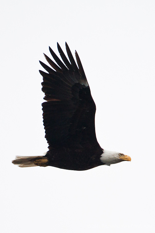 Bald Eagle, Ediz Hook, Port Angeles, Washington.