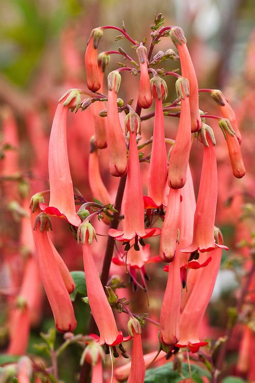 Cape fuchsia (Phygelius 'Somerford Funfair Orange'), early August.