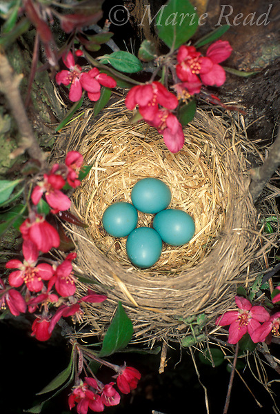 American Robin (Turdus migratorius) nest with four eggs in crabapple, Ithaca, New York, USA<br /> Slide # B136-1168