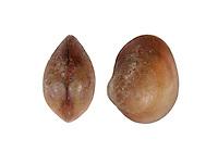 lasaea adansoni