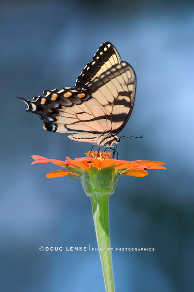 A Butterfly, The Eastern Tiger Swallowtail Nectaring On A Flower With A Blue Sky Background, Papilio glaucus Linnaeus
