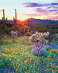 Wildflowers and cacti at sunset in Organ Pipe Cactus National Park, AZ