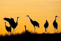 Eurasian Crane (Grus grus), Lake Hornborga, Sweden. April 2009. Mission: Sweden (crane and swan)