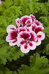 PELARGONIUM 'CANDY FLOWER BICOLOR', REGAL GERANIUM