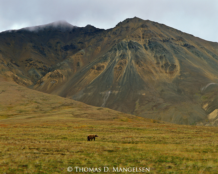 A grizzly bear is but a small part of this vast landscape in Denali National park, Alaska.