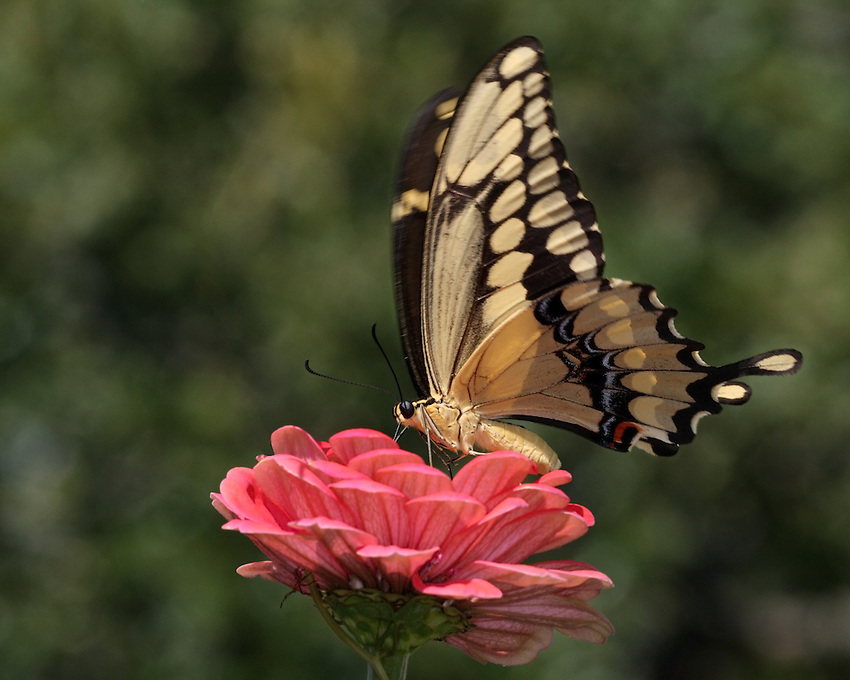 "The giant swallowtail (Papilio cresphontes), is a striking, wonderfully ""exotic"" looking butterfly."