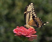 """The giant swallowtail (Papilio cresphontes), is a striking, wonderfully """"exotic"""" looking butterfly."""