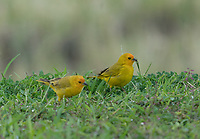 Safron Finch. Hawaii, The Big Island