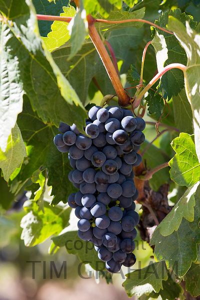 Marques de Riscal black grapes for Rioja red wine  in Rioja-Alaveda area of Basque country, Spain