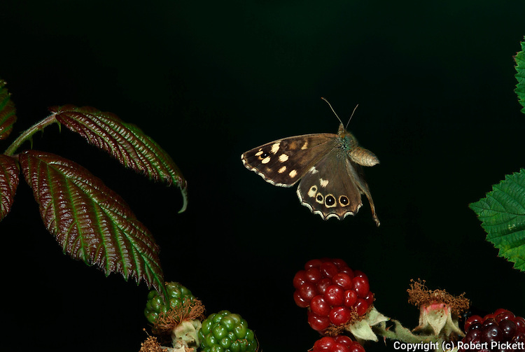 Speckled Wood Butterfly Pararge aegeria, flying, in flight over brambles, berries, woodland, high speed photographic technique.United Kingdom....