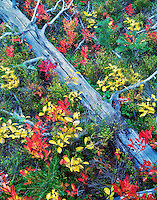 Fall colored hucklrberry and dead tree. Willowa National forest, Oregon