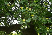 Amerikanischer Tulpenbaum, Tulpen-Baum, Magnolie, Liriodendron tulipifera, Canary Whitewood, Tulip Polar, Tulip Tree