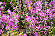 Rhodora - Rhododendron canadense - during the spring months along the Appalachian Trail on the summit of Zeacliff Mountain in the White Mountains, New Hampshire USA