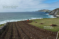 In time honoured tradition, a Kerry farmer digs his ridges and plants 'rooster potatoes' in a field overlooking Coomeenole Beach with the wild Atlantic Ocean and The Blasket Islands in the distance on Monday May 6th. Planting potatoes is nearly a  month behind schedule due to the inclement weather this year..Picture by Don MacMonagle - www.macmonagle.com