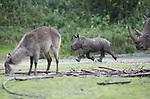 Foto: VidiPhoto<br /> <br /> ARNHEM &ndash; Onder scherp toezicht van de 2000 kilo zware moeder Izala, mocht de vier weken oude breedlipneushoorn Wiesje vrijdag voor het eerst kennismaken met de giraffen, zebra&rsquo;s en antilopen. De dieren verblijven net als de neushoorns op de Safari. Naar verwachting maakte de aanvankelijke voorzichtigheid van het jonge vrouwtje al vrij snel plaats voor nieuwsgierigheid naar de andere diersoorten. Af en toe moest moeder ingrijpen als de andere dieren te dicht bij kwamen. Ondanks jarenlange ervaring met introducties van jonge neushoorns blijft het altijd afwachten hoe de eerste kennismaking met de andere dieren op de Safari verloopt. Met haar vader maakt het vrouwtje pas over enkele maanden kennis. Tot die tijd blijft de volwassen man in het buitenverblijf achter de schermen. Net als in de natuur leidt een neushoornman hoofdzakelijk een solitair bestaan. De geboorte van Wiesje was vorig maand life te volgen. Voor moeder Izala is dit het eerste levende jong. Vorig jaar ging het mis en kwam het jong dood ter wereld.