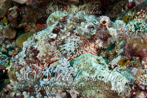 Magnificently camouflaged poisonous stonefish, Palau Micronesia. (Photo by Matt Considine - Images of Asia Collection) (Matt Considine)