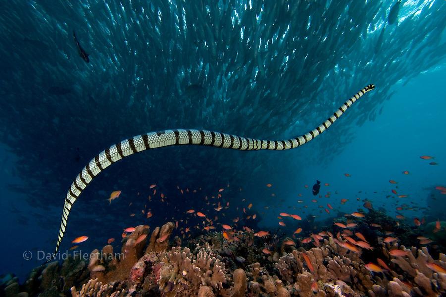 The banded Sea Krait or Yellow-lipped Sea Krait, Laticauda colubrina, are a type of venoumous sea snake.  Malaysia.