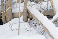Snowshoe hare or varying hare resting beneath logs and limbs in northern forest, winter.