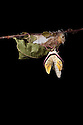 Indian Moon Moth / Indian Luna Moth {Actias selen} emerging from cocoon.  Captive. Sequence 6 of 24. website