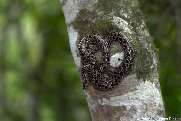 Panamanian Dwarf Boa Snake, Ungaliophis panamensis, Nicaragua, Costa Rica, Panama and northwestern Colombia, curled on tree.Central America....