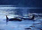orcas in Johnstone Strait