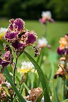 Presby Iris Gardens 2016