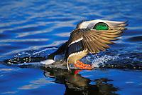 Mallard Duck drake (Anas platyrhynchos) landing