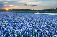 Nothing say spring more than field of bluebonnets!  We captured this image of these wonderful bluebonnet wildflowers at sunrise as the sun was just breaking across the horizon with some nice colors in the sky, along the Colorado River in the Texas Hill Country at Muleshoe Park.  You can see the mist over the water as the sun gradually comes up over this wonderful field of sea of blue wildflowers along the rivers edge. The smell of all these blue bonnets flowers was very flagrant.