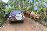 Cattle In Road