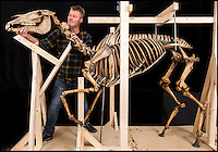 BNPS.co.uk (01202 558833)<br /> Pic: PhilYeomans/BNPS<br /> <br /> Conservator Derek Bell at work on the famous skeleton.<br /> <br /> Napoleons famous horse given some much needed 'Joie de vivre' by a National Army Museum conservation - The new poised hind legs and cocked fore leg and head breathe life into the 200 year old skeleton.<br /> <br /> Emperor Napoleon's famous warhorse Marengo, immortalised in David's famous painting, was captured on the battlefield of Waterloo after Napoleon had fled.<br /> <br /> The diminutive Arabian stallion was brought back to Britain, and after its death the skeleton was carefully preserved and put on display in a rather dull and lifeless pose.<br /> <br /> British experts have spent two years picking apart, reconditioning and reassembling the aged and delicate bones of Marengo ahead of his installation at the new National Army Museum in Chelsea, west London.