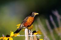 "01382-038.03 American Robin (Turdus migratorius) on fence near Black-eyed Susans (Rudbeckia hirta ""Indian Summer"")  Marion Co.  IL"