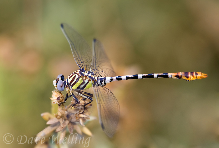 385370005 a wild male white-belted ringtail dragonfly perches on a plant stem along the colorado river in mojave county arizona united states