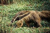 Brazil. Giant anteater (Myrmecophagidae tridactyla); Tamandua.