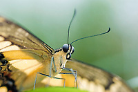 Butterfly is sitting on a leave with wide wings, Preponia demophon, Nymphalidae, showing coiled proboscis