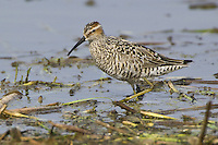 Stilt Sandpiper wading through some weedy water